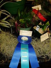 Award Winning Bulbophyllum jacobsonii