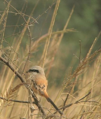 IMG_0222 Long-tailed Shrike
