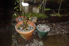 Snow settling on the plants