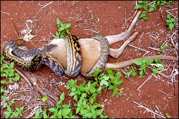 Snake Swallowing Kangaroo 1