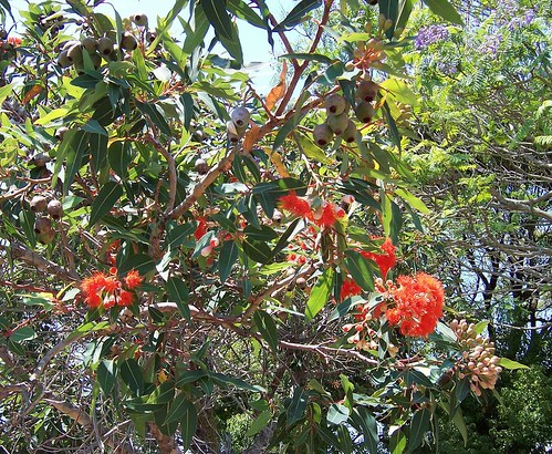 Gum blossoms, buds & gumnuts