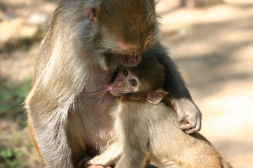 Monkey mother and monkey baby...Swayambunath, Kathmandu.