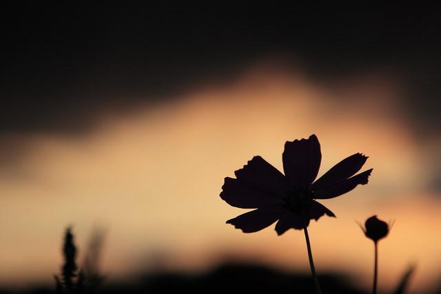 花弁の輪郭
