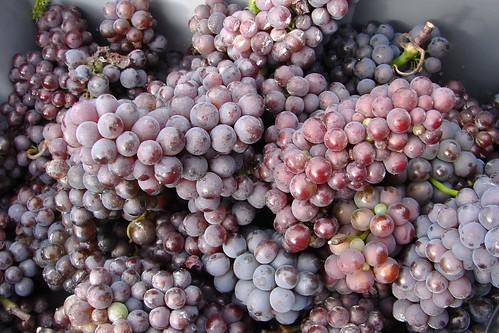 Vigne de Sannois-22