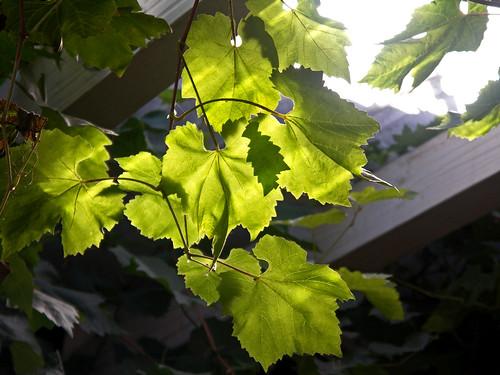 Herbstzeit -Weinernte