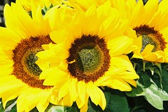 Sunflowers in the Sun!