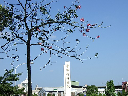 2006_1007Flower1 美人樹