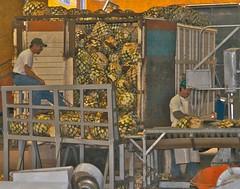 Unloading Blue Agave Piña