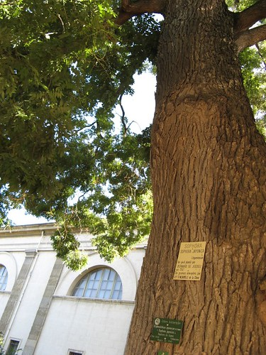 An old tree (1747) in the Jardin des Plantes, Paris