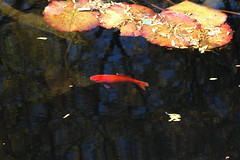 Goldfish and Lilypads