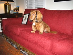 Dog on red sofa