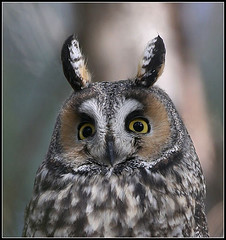 Long-eared Owl photo by amkhosla
