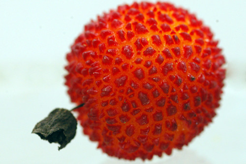 arbutus unedo red