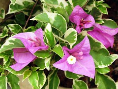 Bougainvillea 'Mrs Eva Mauve Variegata' in our garden