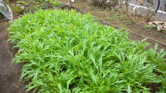今週の市民農園:水菜の収穫開始