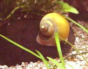 caracol Pomacea