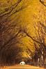 シリーズ「紅葉」-第2夜-イチョウ並木