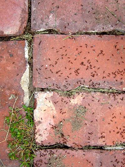 Mondrian-loving ants