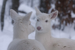 Albino Whitetail Deer Mirror Image photo by Lifeinthenorthwoods.com
