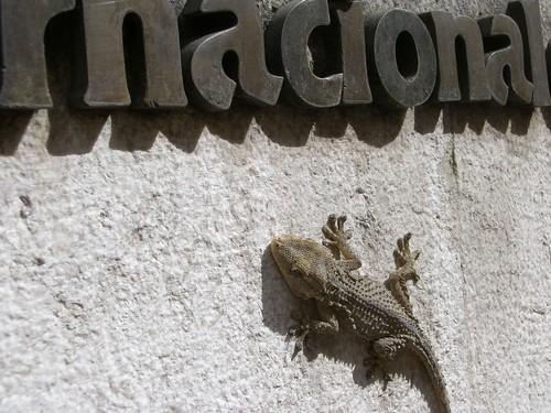 A Lisbon Lizard?