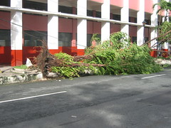 after milenyo: uprooted tree