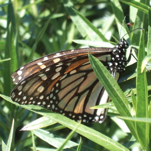 mother monarch butterfly