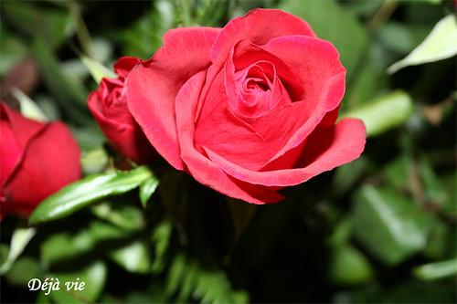 22-roses
