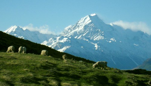 Sheep and Mt Cook