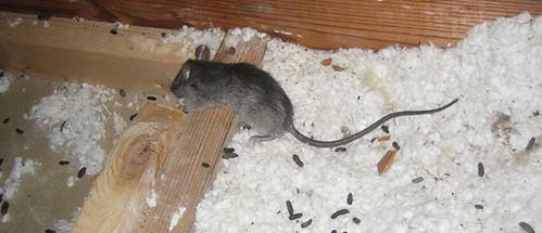 attic-rats