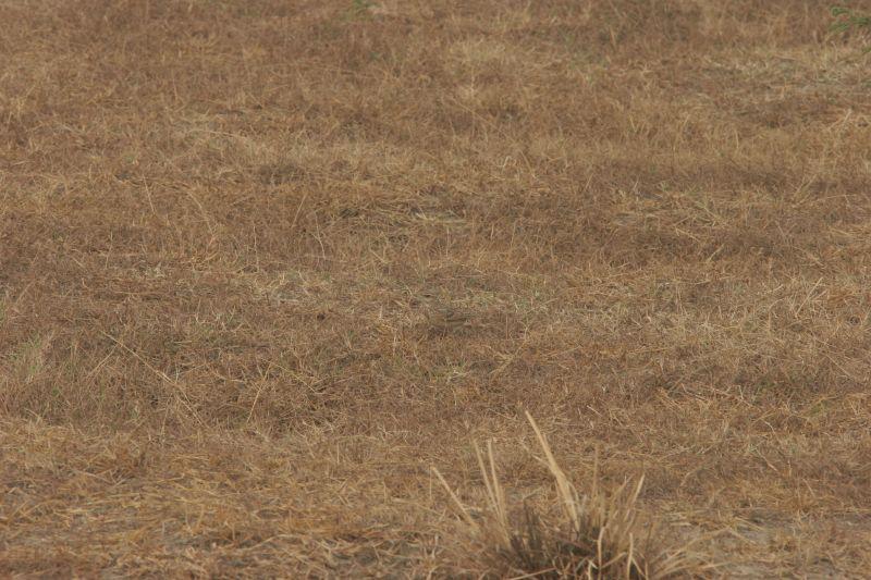 IMG_0179 Crested Lark Camouflage