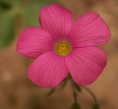 Pink Flower, Oxalis Weed Macro photo by cobalt123