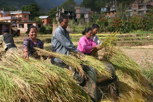 Rice field workers. Parpeng, Kathmandu Valley.
