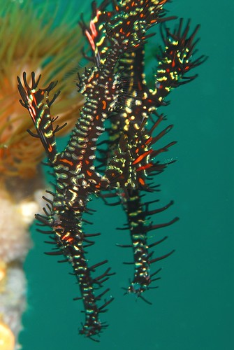 Ornate Ghostpipefish Couple