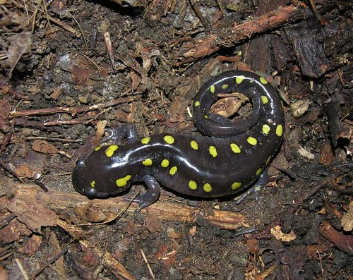Yellow Spotted Salamander Living The Scientific Life
