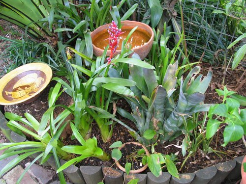 replanted the bromeliads