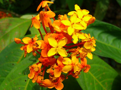 MacRitchie - Flower