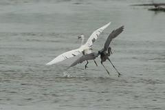 Heron Fight