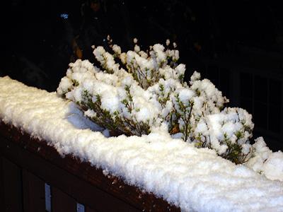 Snow thyme