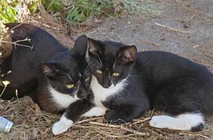 a matched pair of tuxedo cats