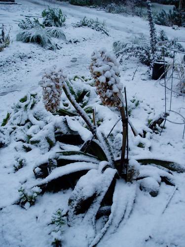 Frozen Eucomis