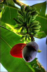 Banana Tree photo by David K. Edwards