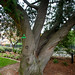 Western Red Cedar (4523)