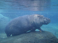 I want a hippopotamus for Christmas!