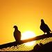 Oh My Pigeons !