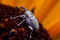 Weevil on a Flower photo by Thomas Shahan