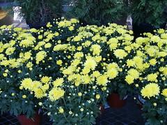 YellowMums