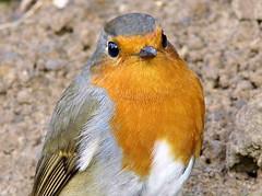 Robin,Little bird UK