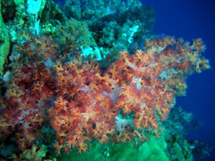 Soft Coral at Hin Muang