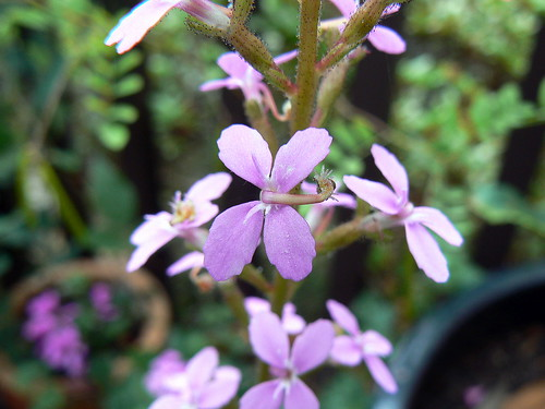 My growing passion stylidium productum for Gardening is my passion