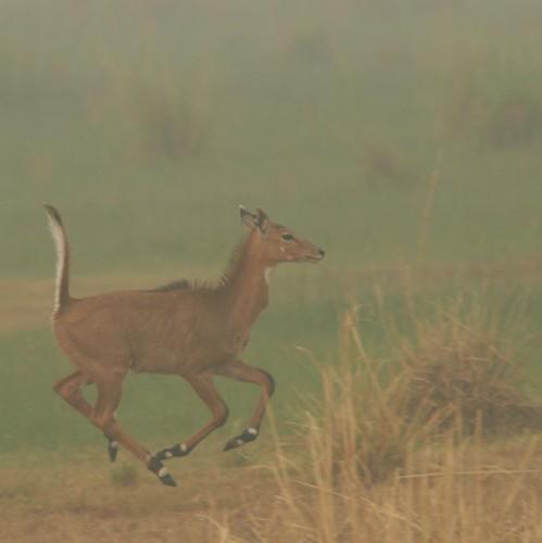 IMG_0126 Nilgai calf on the run